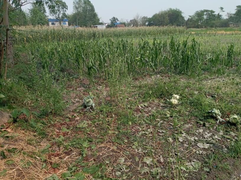 गौरादहमा हावापानी सँगै आएको असिनाले किसानले लगाएको बालि नष्ट