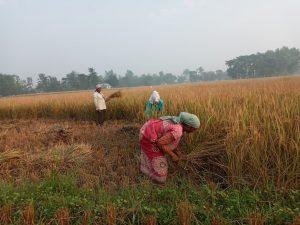भदै धानको मूल्य न्यून हुँदा किसान निराश